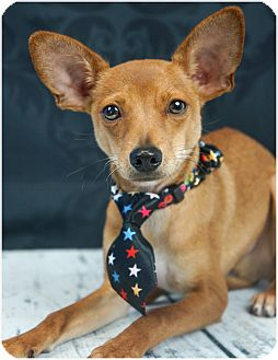 Chihuahua/Toy Fox Terrier Mix Puppy for adoption in Phoenix, Arizona - Cooper