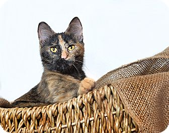 Domestic Shorthair Kitten for adoption in El Dorado Hills, California - Carley