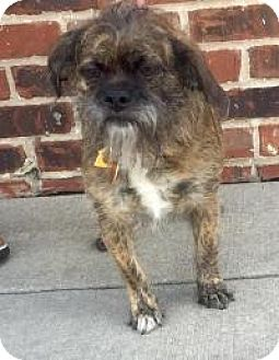 Cairn Terrier/Brussels Griffon Mix Dog for adoption in Mount Pleasant, South Carolina - Whoey