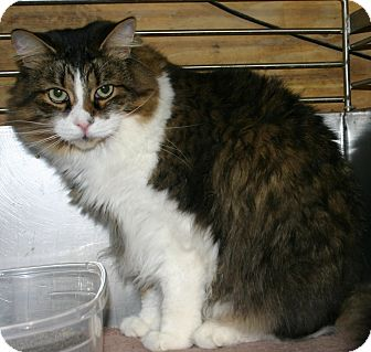 Domestic Shorthair Cat for adoption in Simcoe, Ontario - Poppy