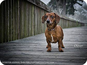 Dachshund Dog for adoption in Webster, Texas - oliver