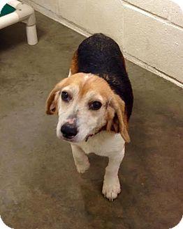 Beagle Dog for adoption in Freeport, Maine - Belle