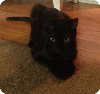 Domestic Shorthair Cat for adoption in Orlando, Florida - Cleopatra