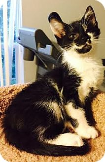Domestic Shorthair Kitten for adoption in Gainesville, Florida - Sally