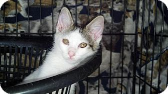 Domestic Shorthair Kitten for adoption in Scottsdale, Arizona - JIMMY-Coming Soon!
