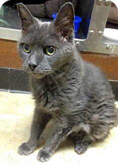 Domestic Shorthair Cat for adoption in Milton, Massachusetts - Cloud
