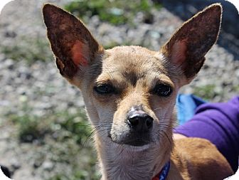 Chihuahua Mix Dog for adoption in Grinnell, Iowa - Reba