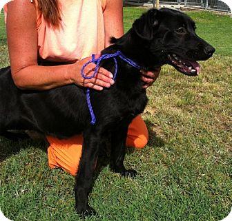 Labrador Retriever Mix Dog for adoption in Greenville, Kentucky - TIPPY