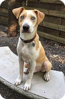 Labrador Retriever/Hound (Unknown Type) Mix Dog for adoption in Big Canoe, Georgia - Frisco