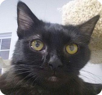Domestic Longhair Cat for adoption in Owenboro, Kentucky - NALA