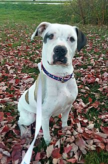 Boxer/Pit Bull Terrier Mix Dog for adoption in Columbus, Ohio - Spadey