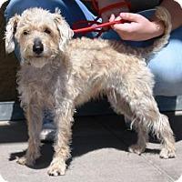 Adopt A Pet :: Koala - Gilbert, AZ