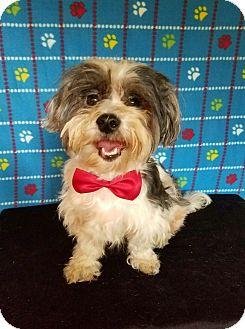 Shih Tzu Mix Dog for adoption in San Francisco, California - Dominic
