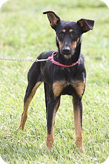 Doberman Pinscher Mix Dog for adoption in Corona, California - DAISY