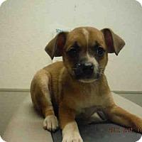 Adopt A Pet :: A574407 - Oroville, CA