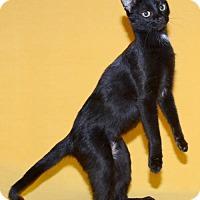 Domestic Shorthair Cat for adoption in Salt Lake City, Utah - Ameera