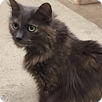Adopt A Pet :: Cloyee - Manchester, CT