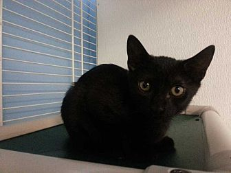 Domestic Shorthair Kitten for adoption in Margate, Florida - Iris