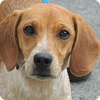 Adopt A Pet :: Copper - Allentown, PA