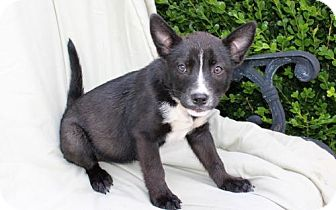 Australian Cattle Dog/French Bulldog Mix Puppy for adoption in Brattleboro, Vermont - PUPPY CHANTEL