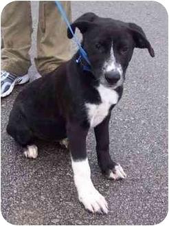 Border Collie/Labrador Retriever Mix Puppy for adoption in Overland Park, Kansas - Tessa