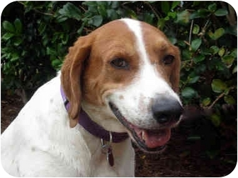Coonhound Mix Dog for adoption in Mobile, Alabama - Charlie