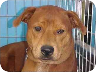 Chow Chow Mix Dog for adoption in Kingwood, Texas - Autumn