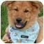 Photo 3 - Golden Retriever/Australian Shepherd Mix Puppy for adoption in Sacramento, California - Leo PENDING