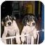 Photo 2 - Treeing Walker Coonhound Puppy for adoption in Cincinnati, Ohio - Walker: PUREBRED