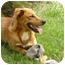Photo 4 - Golden Retriever/Shepherd (Unknown Type) Mix Dog for adoption in Windham, New Hampshire - Julya
