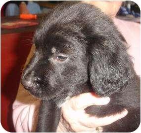 Labrador Retriever/Border Collie Mix Puppy for adoption in Old Bridge, New Jersey - Brie