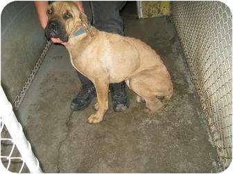 Shepherd (Unknown Type) Mix Dog for adoption in Henderson, North Carolina - Poppy
