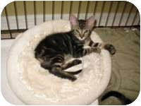 Domestic Shorthair Kitten for adoption in Tampa, Florida - Victor