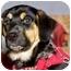 Photo 1 - Rottweiler/Labrador Retriever Mix Puppy for adoption in Spruce Grove, Alberta - Chandler