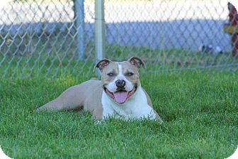 American Pit Bull Terrier Mix Dog for adoption in Wethersfield, Connecticut - Butter Ball