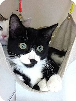 Domestic Shorthair Kitten for adoption in Warren, Michigan - Cheeko