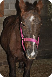Standardbred/Pony - Other Mix for adoption in Webster, Minnesota - Annie