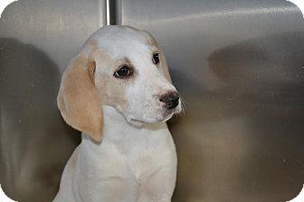 Beagle Mix Puppy for adoption in Edwardsville, Illinois - Daffodil
