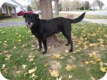 Labrador Retriever Mix Dog for adoption in Salem, Massachusetts - Patsy