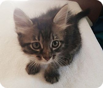 Domestic Mediumhair Kitten for adoption in Hillsboro, Illinois - Jasmine