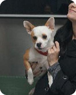 Boston Terrier Mix Dog for adoption in Huntley, Illinois - Dexter