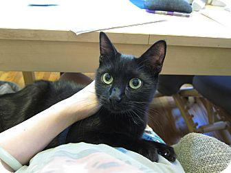 Domestic Shorthair Cat for adoption in Chicago, Illinois - Pumpkin Pie
