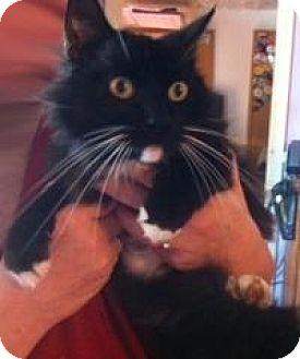 Domestic Mediumhair Cat for adoption in San Marcos, Texas - siesta senior