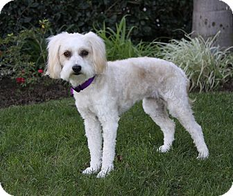 Maltese/Poodle (Miniature) Mix Dog for adoption in Newport Beach, California - CADENCE