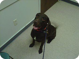 Labrador Retriever Dog for adoption in Baton Rouge, Louisiana - Duke