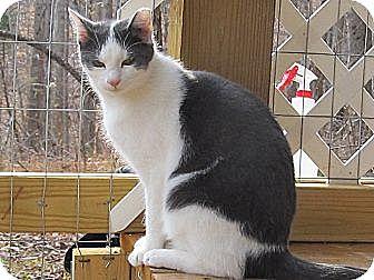 Domestic Shorthair Cat for adoption in Bedford, Virginia - Albert