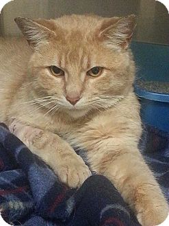 Domestic Shorthair Cat for adoption in Lombard, Illinois - Smiley