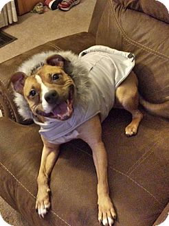 Pit Bull Terrier/Staffordshire Bull Terrier Mix Dog for adoption in Sharon Center, Ohio - Chipmunk - Courtesy Post