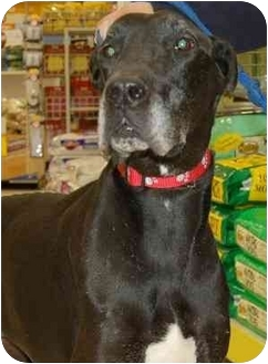 Great Dane Dog for adoption in Stafford, Virginia - Max (Adores people)