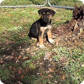 Shepherd (Unknown Type) Mix Puppy for adoption in Jacksonville, North Carolina - Lola